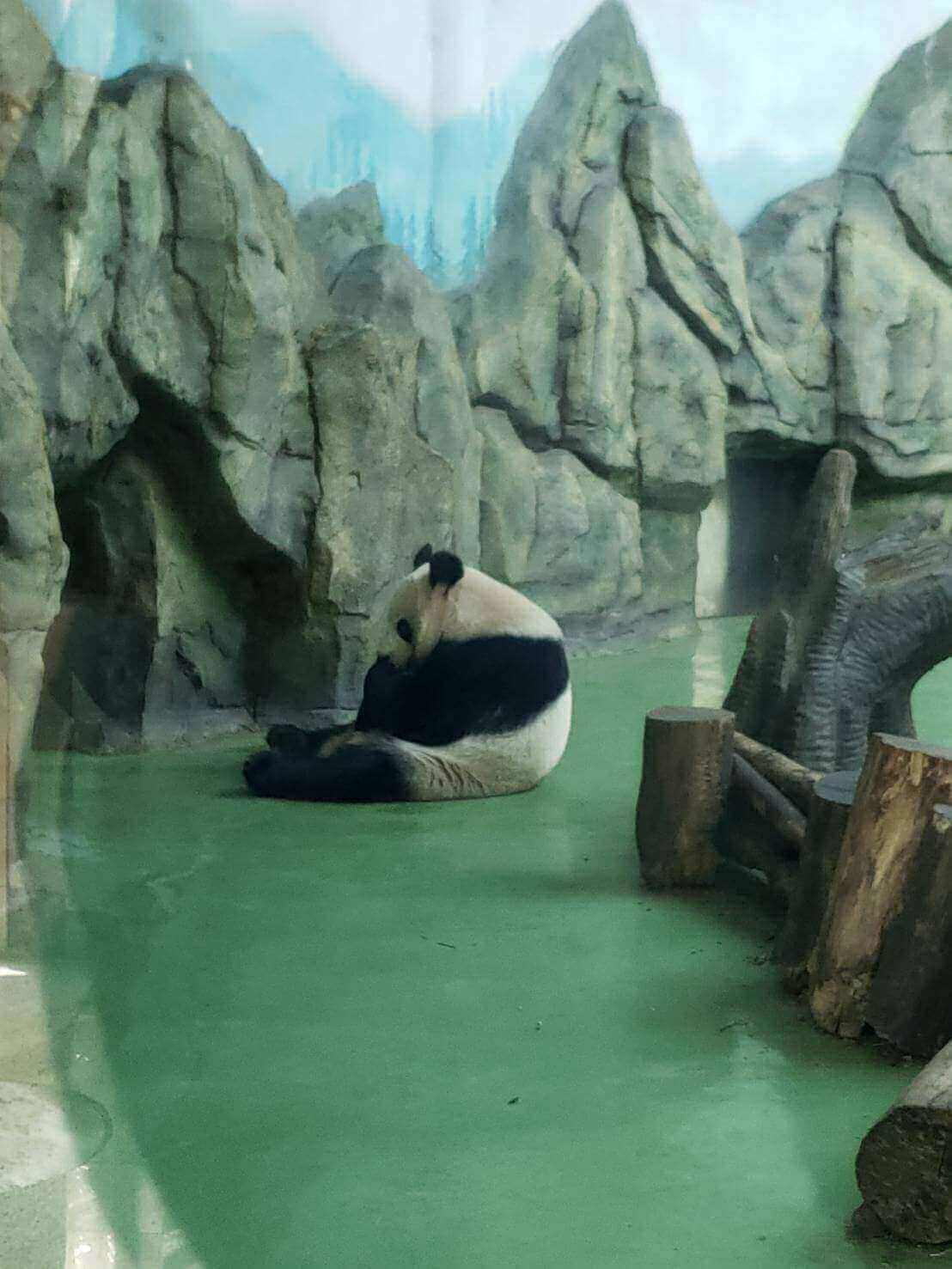 室内にいるパンダ