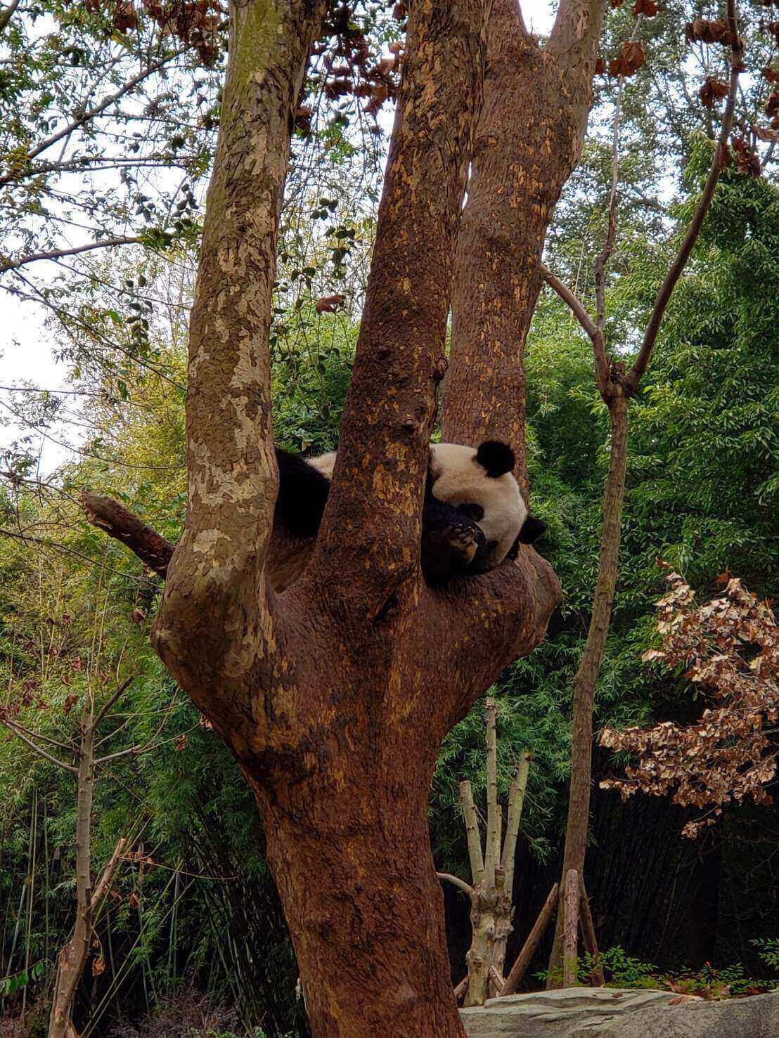 木の上で寝るパンダ