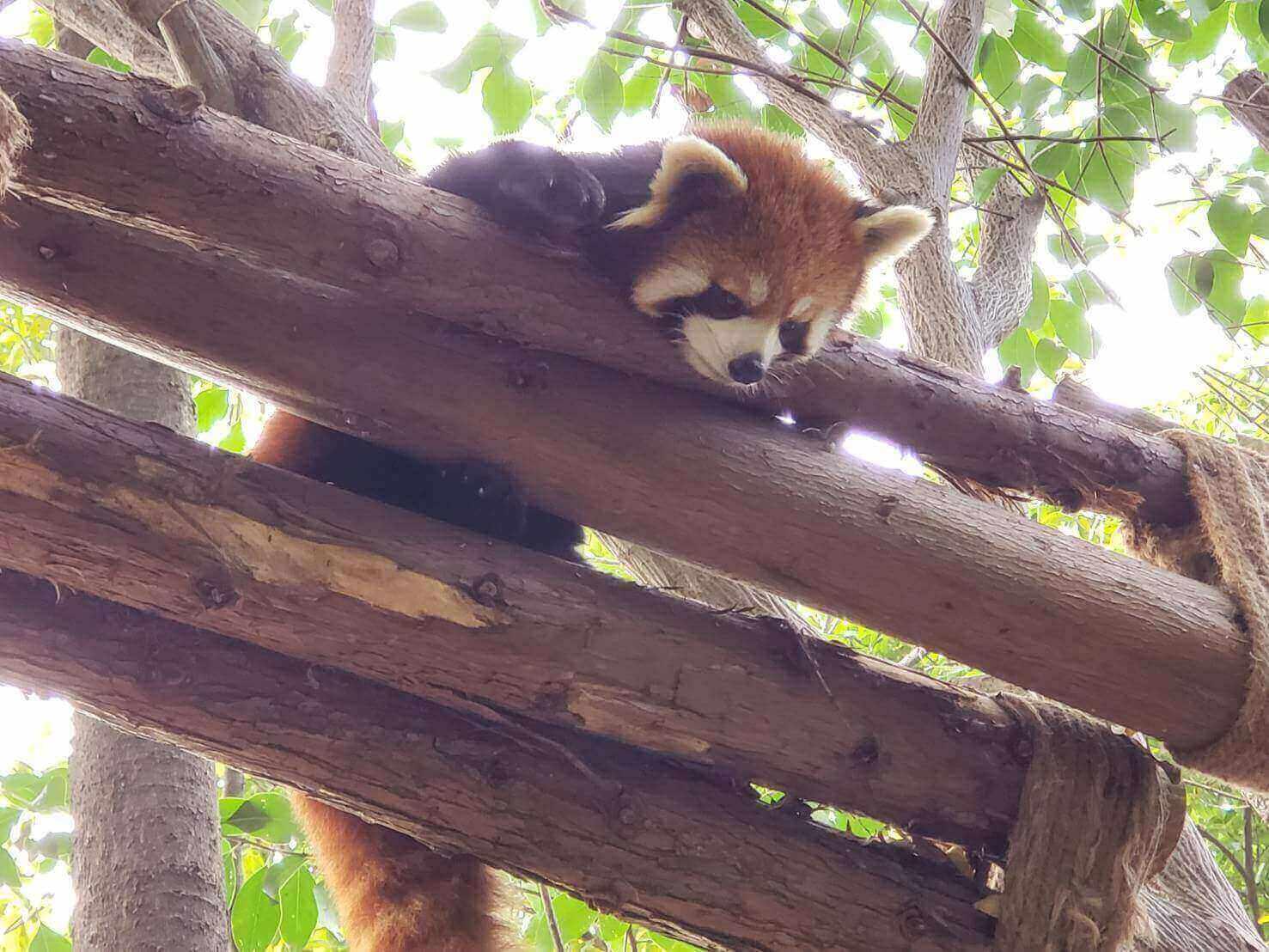 上からのぞくレッサーパンダ