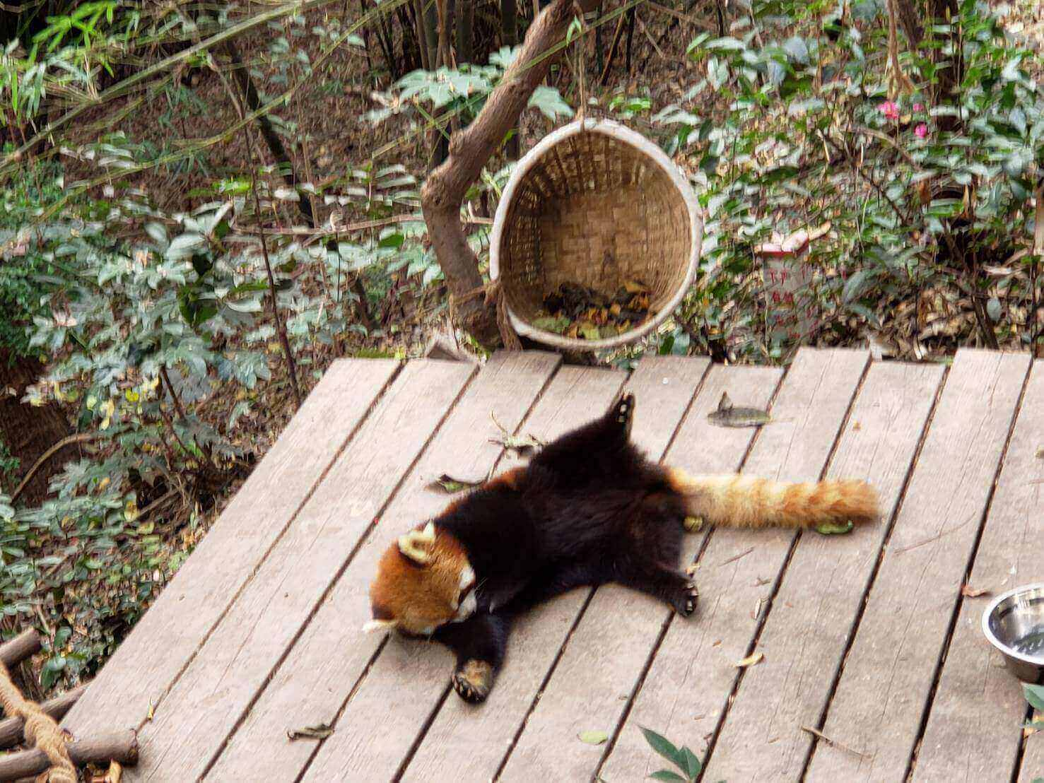 寝そべるレッサーパンダ